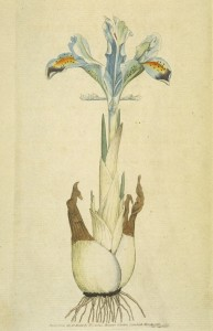 Detail of iris persica by James Sowerby, The Botanical Magazine, vol. 1, no. 1, 1792.